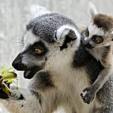 Even though lemurs are primates, they cannot grip with their long, striped tails.