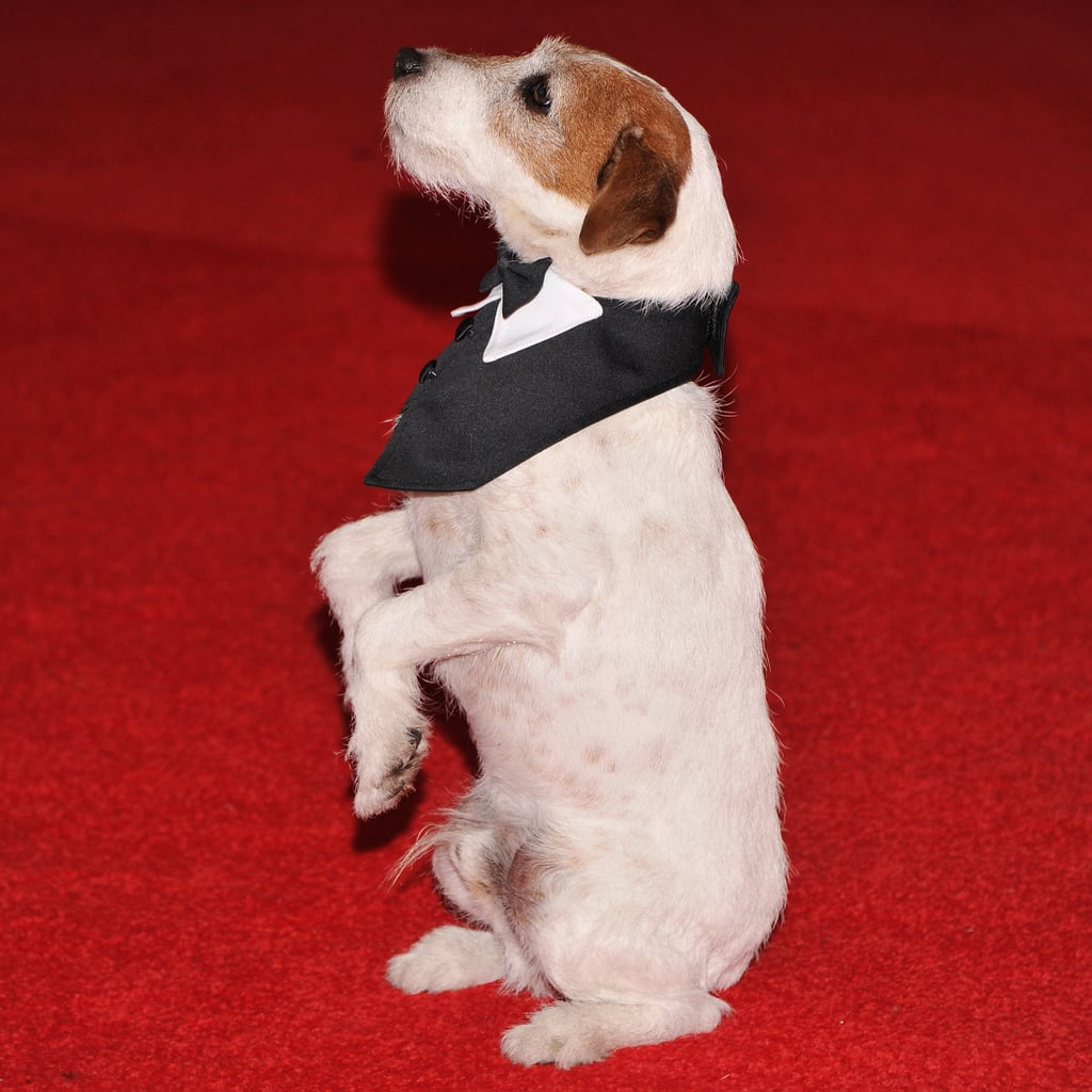 Uggie at the White House Correspondents Dinner Pictures
