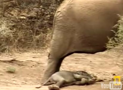 Cute Alert: Baby Elephant Gets Sleepy