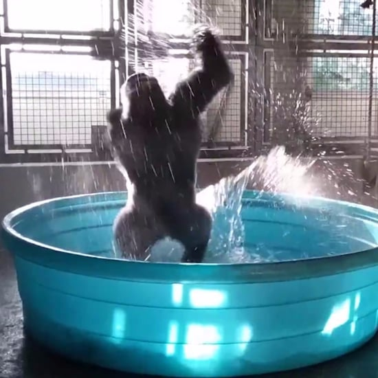 "Zola the Gorilla Dancing to ""Maniac"" Video"