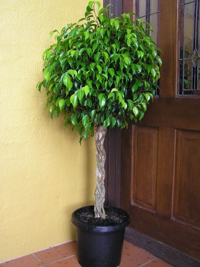 Plants That Purify:  Ficus