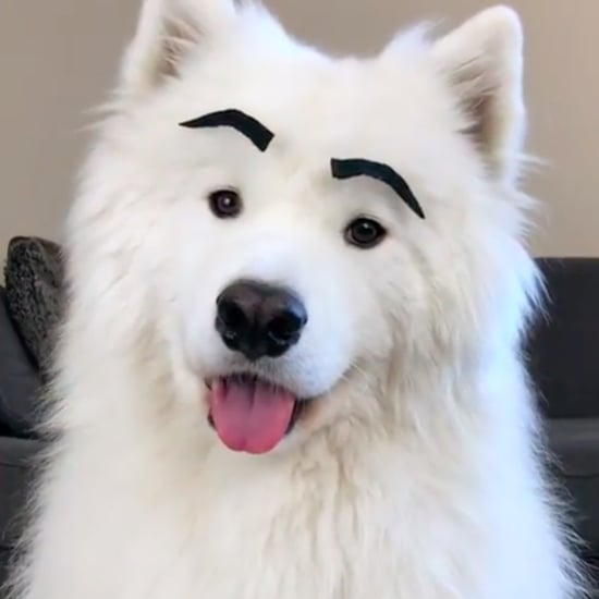 Video of a Samoyed Dog With Eyebrows on His Face