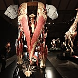 The largest display, a plastinated Asian elephant, shows the intricate muscular development of the trunk as well as the surprisingly small brain and central nervous system. Nearby, a giraffe seems to have a lot of bones in that long neck, but it actually contains the same number of cervical vertebrae as a human's!