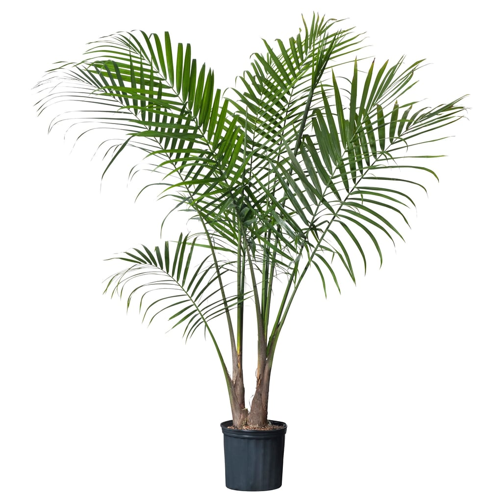 Ravenea Potted Plant