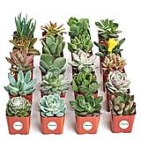 Succulents Unique Succulent (Collection of 20)