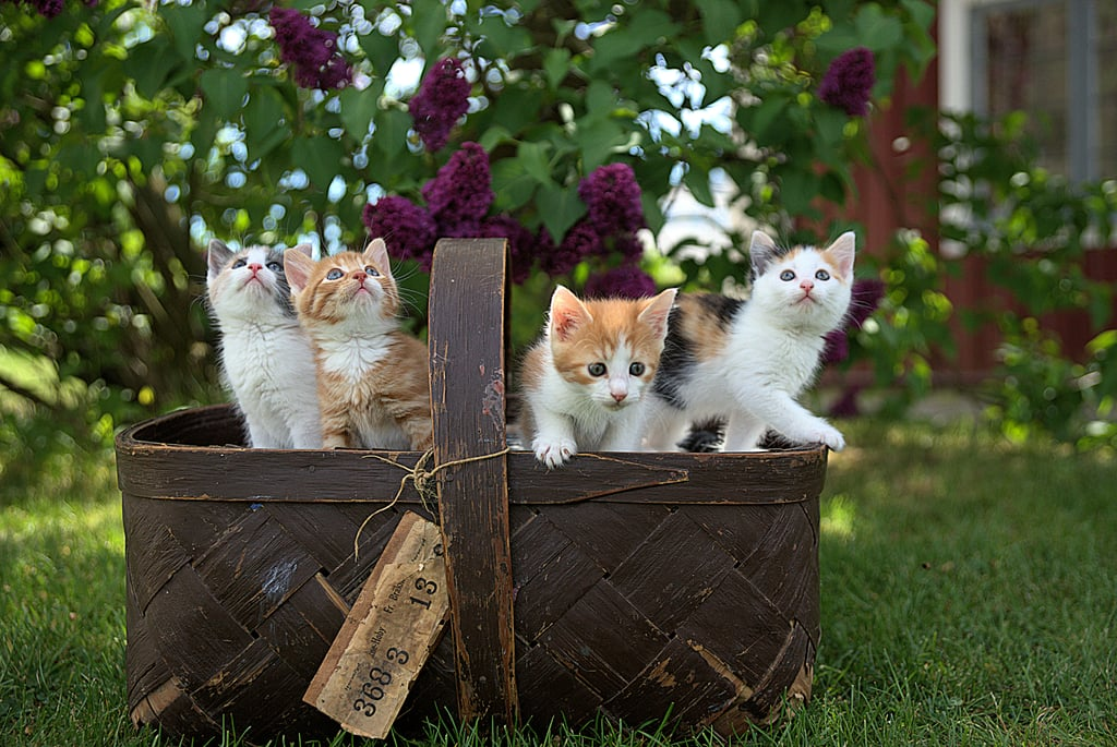 A BASKET OF KITTENS.