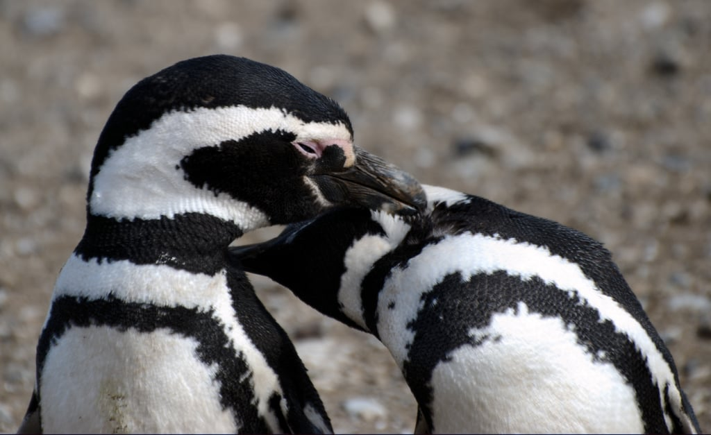 If you notice that pink spot above their eyes where a lid would be — those glands actually get more pink, the hotter the penguin gets! More blood is then sent to the glands, darkening the color, so it can be cooled by the surrounding air and thus cool birdie, too.