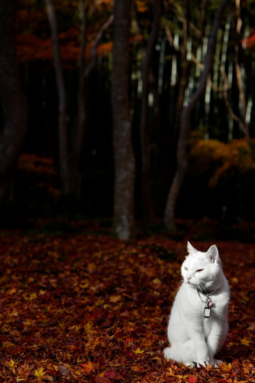This white kitty is a striking portrait against a red, leafy background. Source: Flickr user xmatt