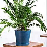 Potted Kimberly Queen Fern Indoor Plant