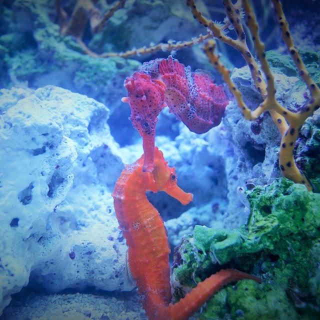 Seahorse mates will cuddle each other.