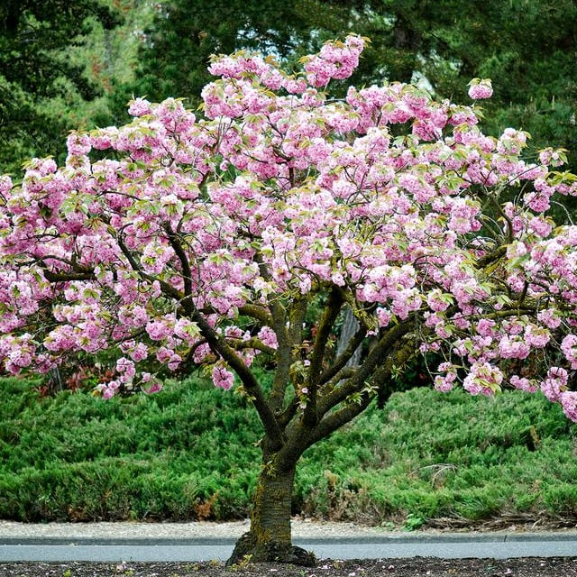 Kwanzan Cherry Blossom Tree Bare Root Home Depot Is Selling Cherry Blossom Trees For As Low As 39 So We Ll Take 2 Popsugar Home Photo 3
