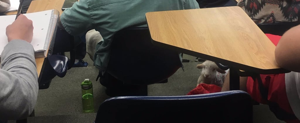 Pet Lamb in Classroom