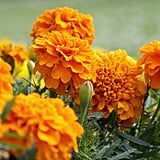 October: Marigolds