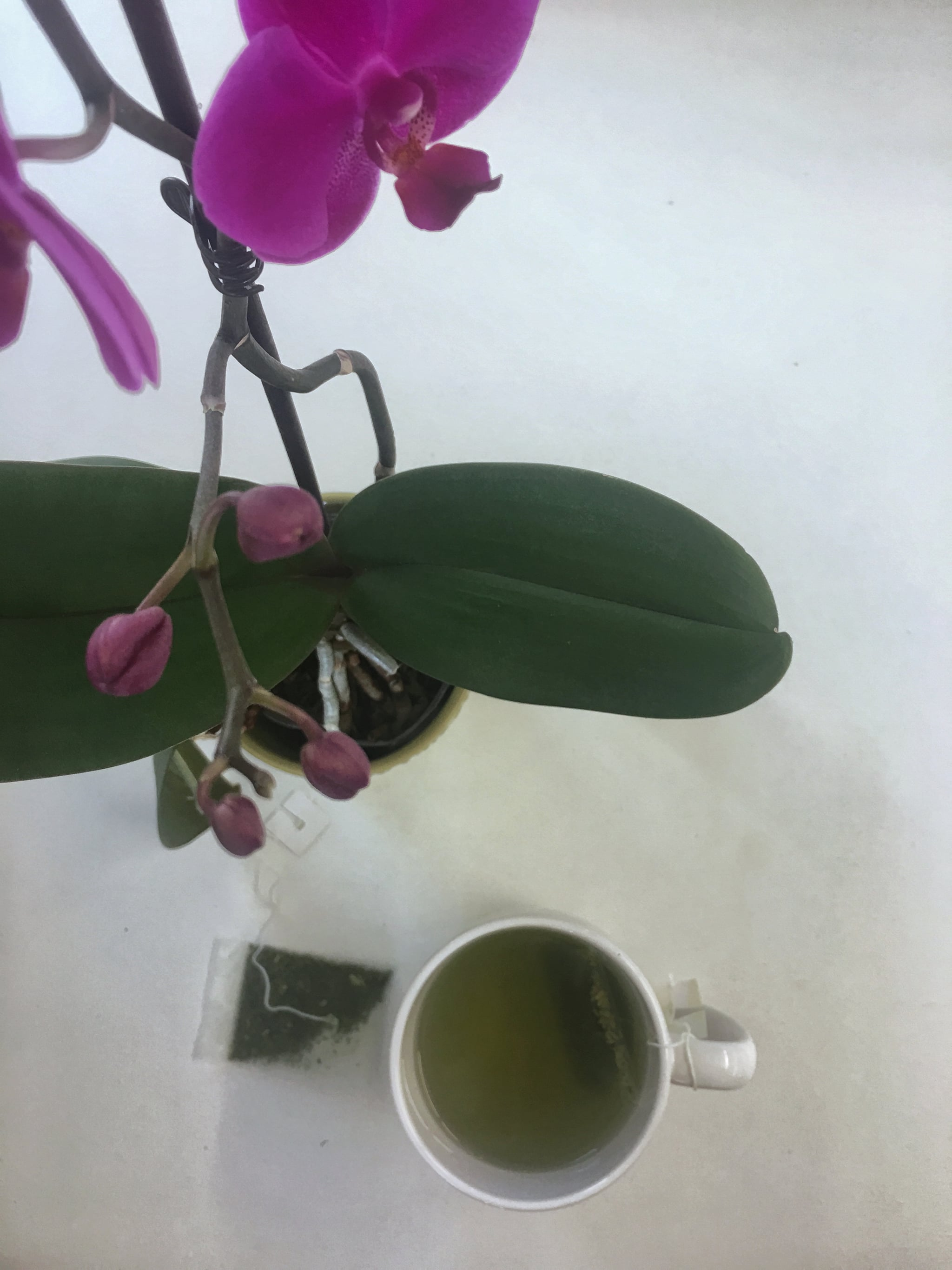 Rebloom Orchids with Tea