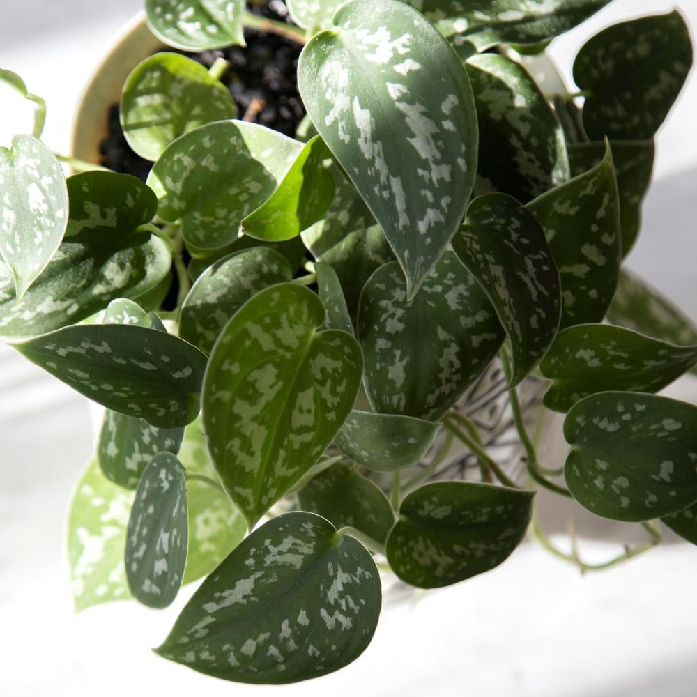 National Plant Network Devil's Ivy Silver Satin Pothos Plant
