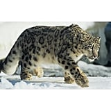 Come Face to Face With an Indian Snow Leopard