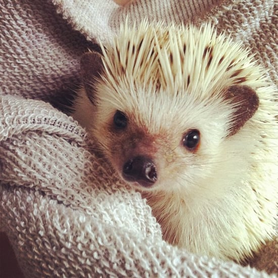 Hedgehogs Join Puppy Bowl IX