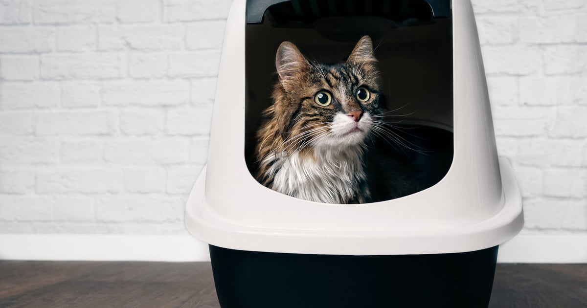 A Vet Explains Why Your Cat May Still Have Poop on Their Butt After Using the Litter Box