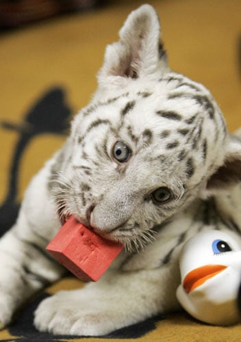 Baby Tiger's Stoked For a Fully Stocked Toy Box