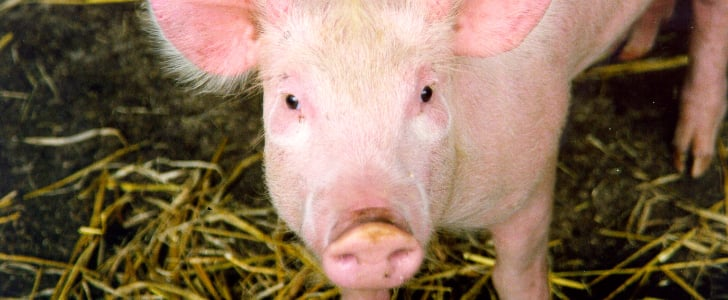 11 GIFs of the Most Precious Piggies For National Pig Day
