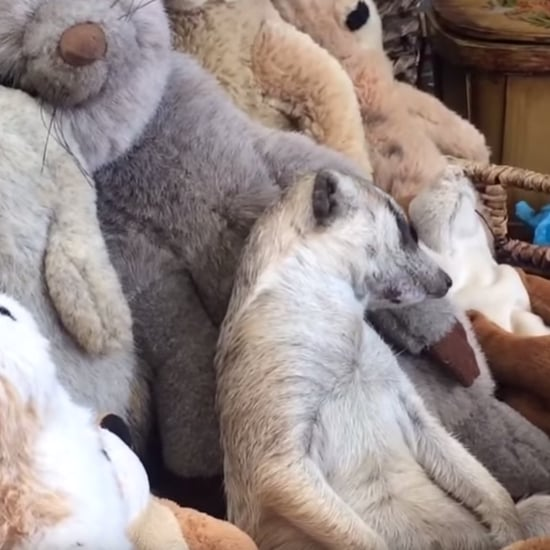 Meerkat Sleeping With Stuffed Animals | Video