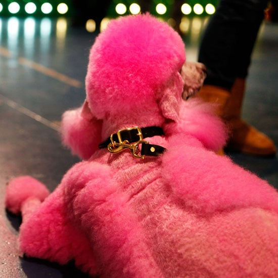 Pictures of Dogs at Fashion Week