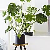 In: Split-Leaf Philodendron