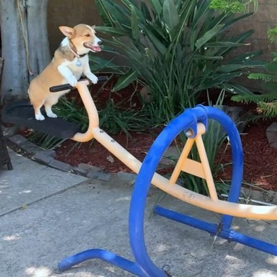 Video of Corgis on a Seesaw