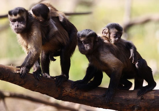 Pictures of Baby Capuchin Monkeys