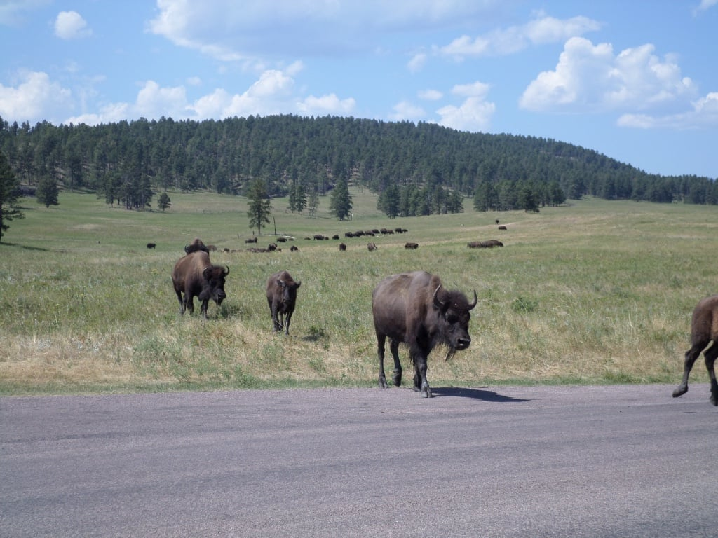 Go to South Dakota's Buffalo Roundup