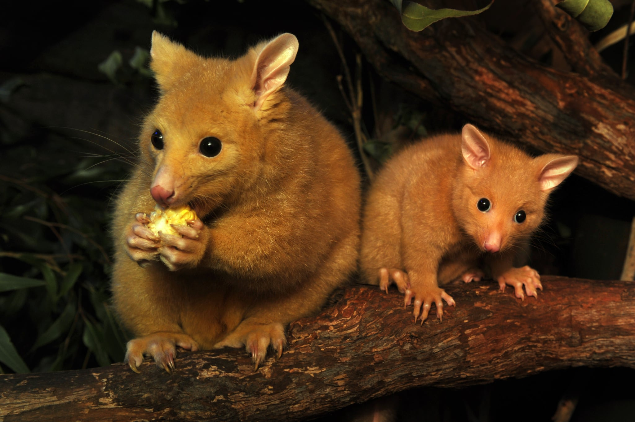 Cooper, a 5-month-old male baby golden brushtail possum, hangs out next to mom, hoping to snag a snack.