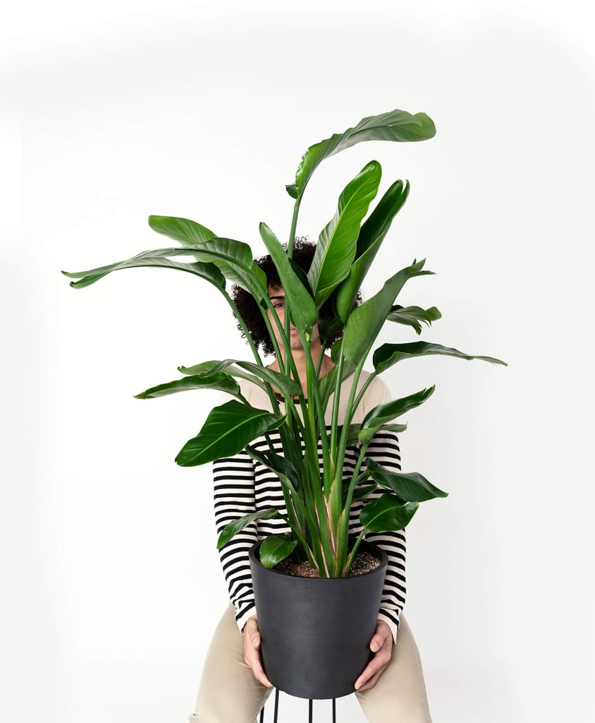 Extra Large, Potted Bird of Paradise Indoor Plant