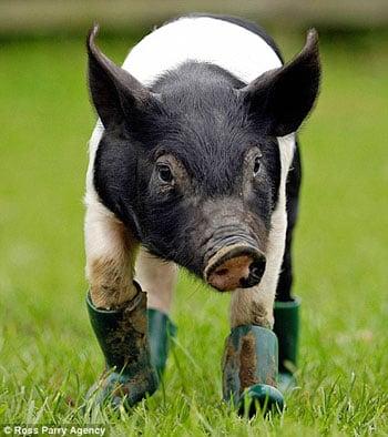 This Little Piggy Has Mysophobia