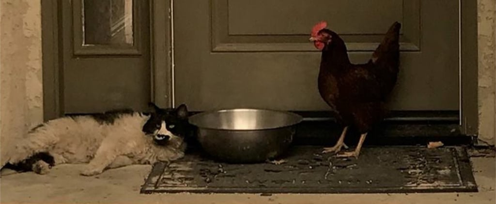 Cat and Chicken Huddle Together After Wildfire