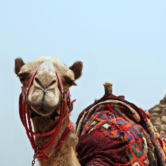 King Abdulaziz Camel Contest 2018