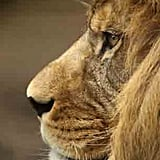A lovely lion looks out at his new home.