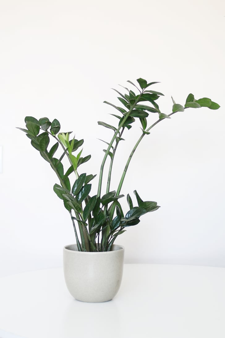 Zz Plant Best Houseplants For Low Light Popsugar Home
