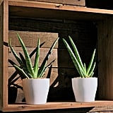 Delray Plants Aloe Vera
