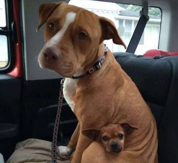 Pit Bull And Chihuahua Adopted Together Popsugar Pets