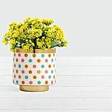 Yellow Confetti Kalanchoe