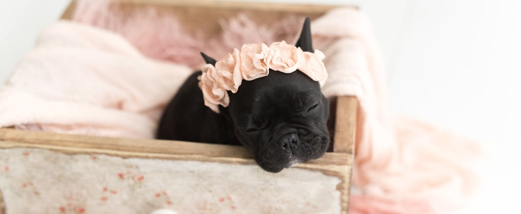 Newborn Photo Shoot With French Bulldog Puppy