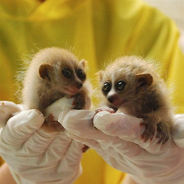 Pictures of Slow Loris