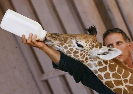 Awww, a Baby Giraffe Hits the Bottle