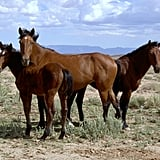 Descendants of horses brought to the New World by the Spanish, mustangs are feral horses that roam the open landscapes of Nevada, Wyoming, Montana, and Oregon. Source: Flickr user J.harwood