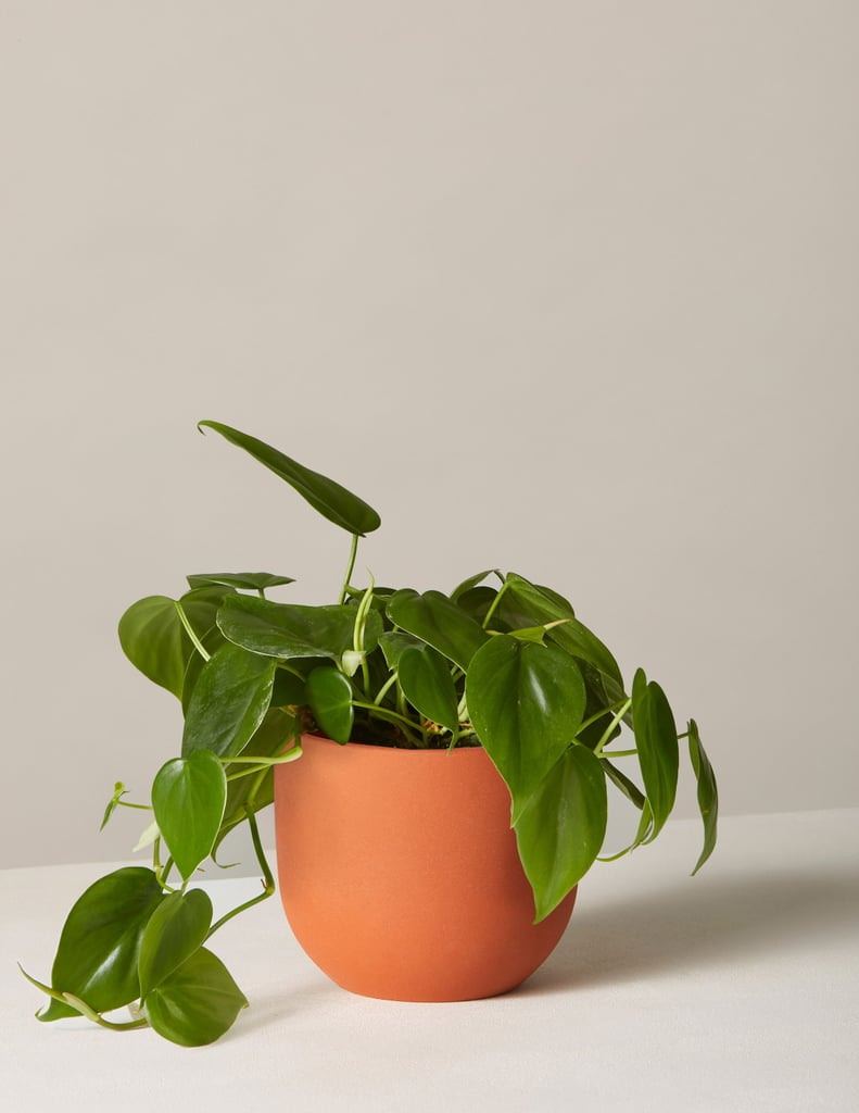 Philodendron: Green In Small Terracotta Grant Planter