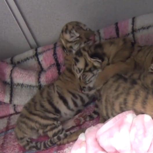 Tiger Babies Born at Columbus Zoo