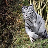 All white tigers observed in the wild are Bengal tigers, but they have been bred in captivity in high numbers due to the popularity of the color. Nevertheless, all captive white tigers have at least some Bengal blood.