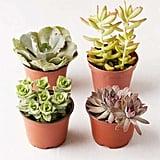 "4"" Live Assorted Succulents — Set of 4"