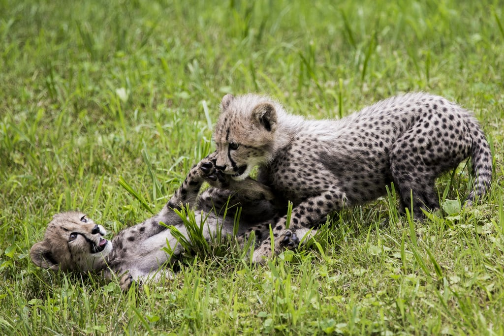 The cubs engaged in some paw-to-paw combat.