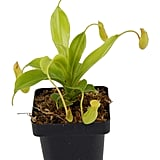 Pitcher Plant Nepenthes